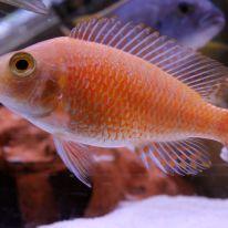 Female Tangerine